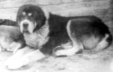 Кавказский волкодав, или кавказская пастушья собака Krealnosti2